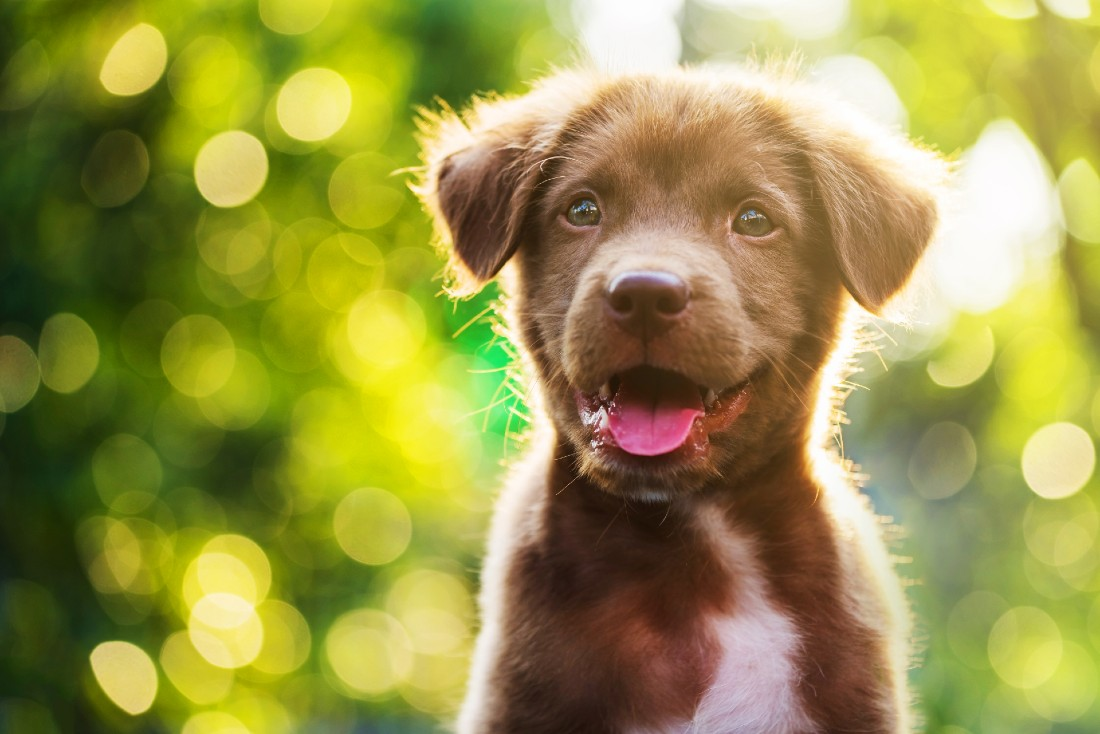 A brown puppy grins at the camera