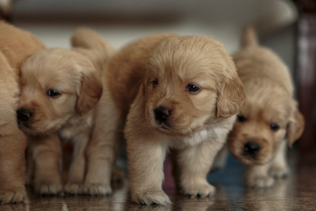 A litter of brown Labrador puppies